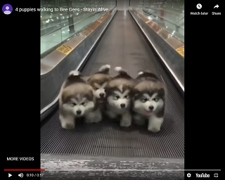 Viral Video Puppies Walking To The Bee Gees Stayin Alive Planet 106 7