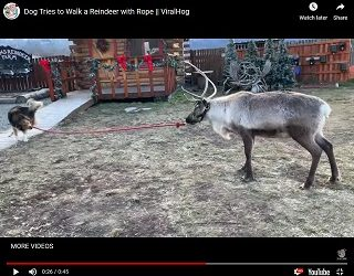 Viral Video: Dog Tries to Walk a Reindeer with Rope