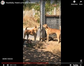 Viral Video: Dogs Argue Through A Fence…Sort Of