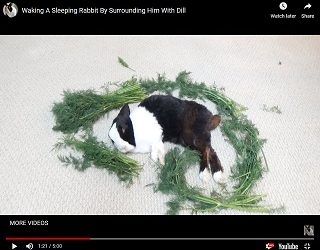 Viral Video: Waking A Sleeping Rabbit By Surrounding Him With Dill
