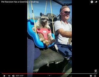 Viral Video: Pet Raccoon Has a Good Day